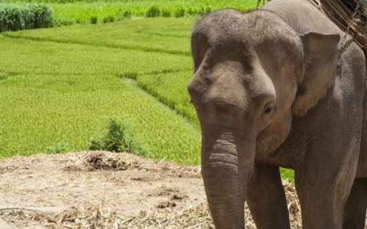 Young elephant in elephant camp, Thailand